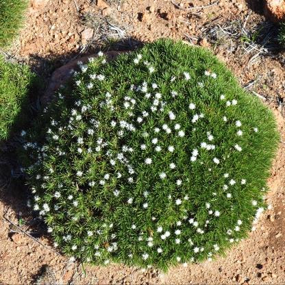 Borya consticta - Pincushion