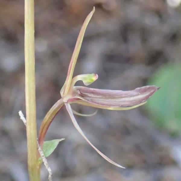Cyrtostylis robusta