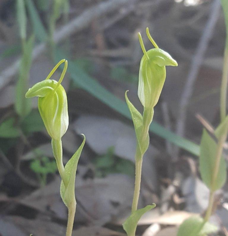 Murdoch snail orchid