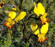 Broad, elongated petals