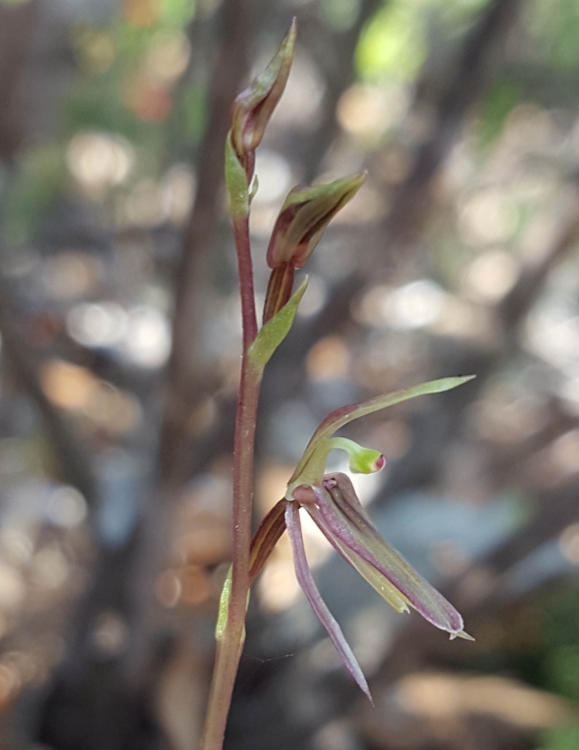 Narrower labellum than the related Mosquito orchid