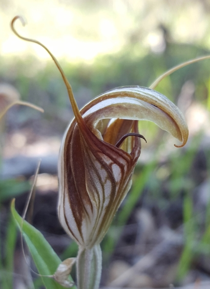 Prominently protruding, long, narrow, curved labellum