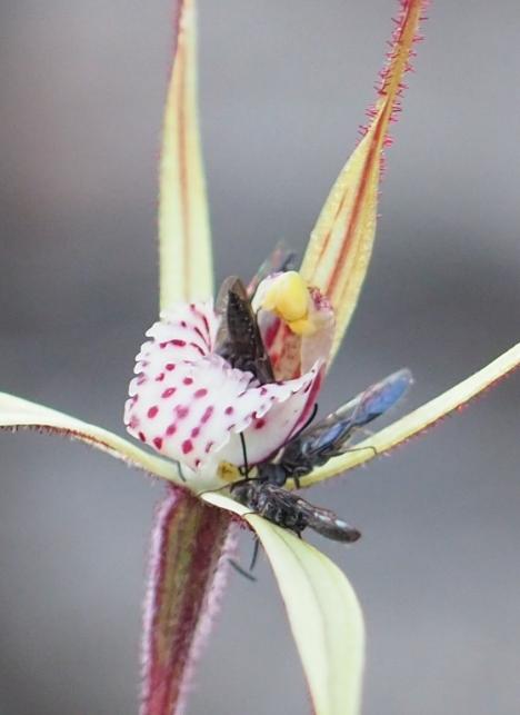 Possible pollinators