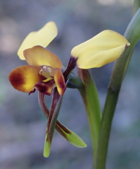 Broad elongated petals