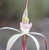 creamy-white red striped labellum