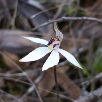 White horizontal petals and lateral sepals