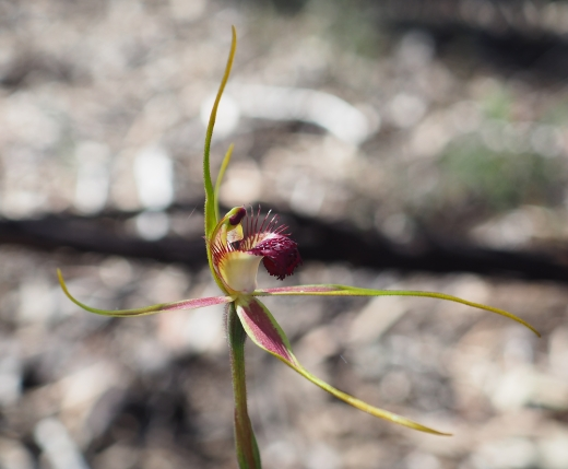 White red-tipped labellum