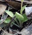Sparse rosette of long stemmed leaves
