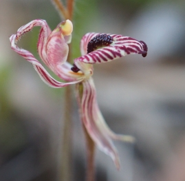 Red striped labellum with dense central band of calli