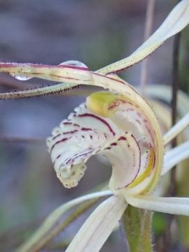 Creamy-white, red-striped labellum