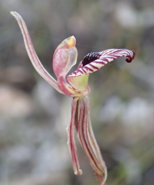 Glandular apex to labellum