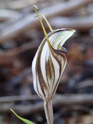 Short, straight labellum, not visible in the set position
