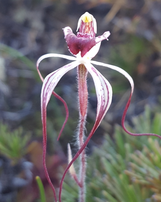 Drooping petals and lateral sepals
