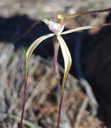 Common spider orchid