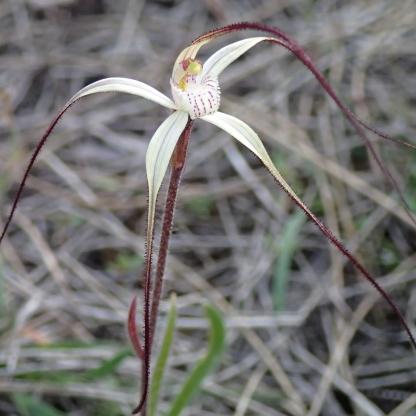 Fairly slender petals and sepals