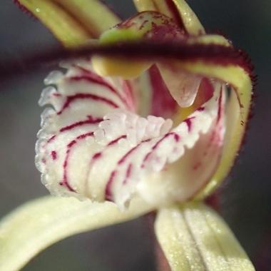 Close-up of calli