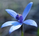 Short spreading petals and sepals
