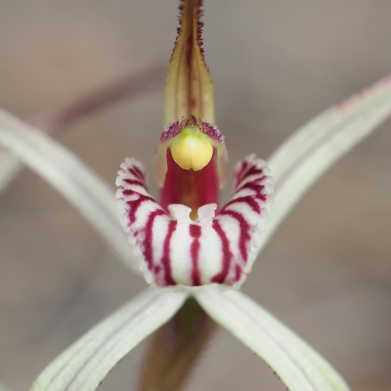 Striped labellum