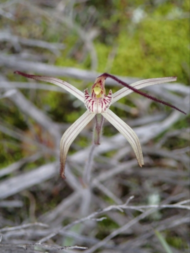 Red striped labellum with red-tipped calli