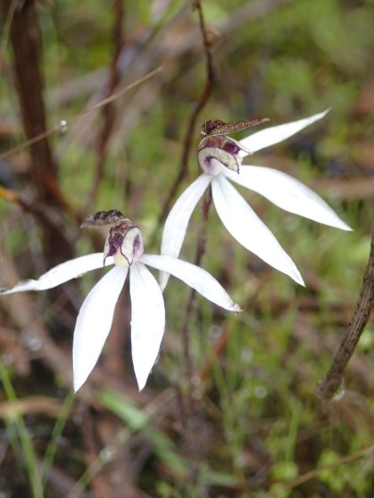 Stark white petals and lateral sepals