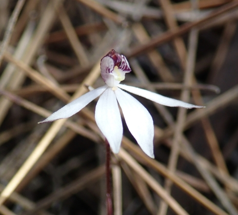 Proving to be the most common orchid in these parts
