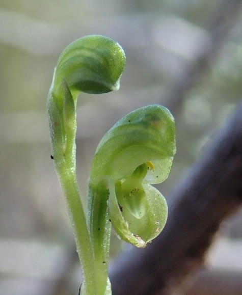 Cupped lateral sepals and a small rounded cupped labellum