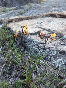 As the name suggests grows in soil pockets on granite outcrops