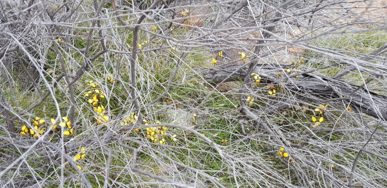 Yellow granite donkey orchids