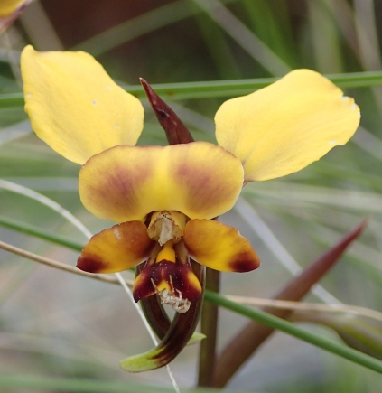 A little resident orchid spider