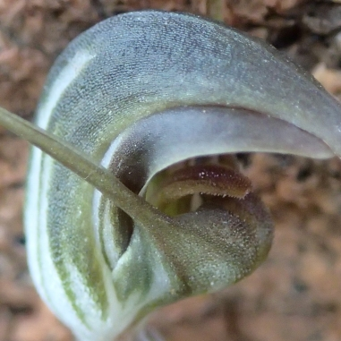 Thick curved sausage-like labellum