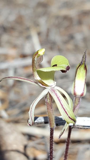 Ant orchid