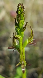 Little laughing leek orchid