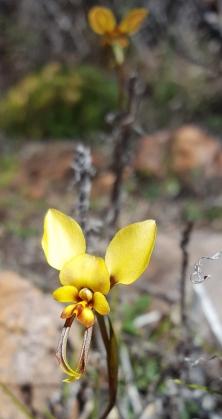Yellow granite donkey orchid