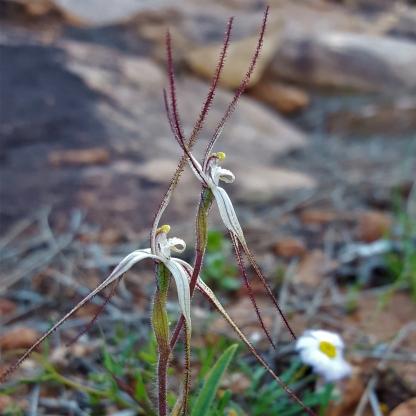 Western wispy spider orchids