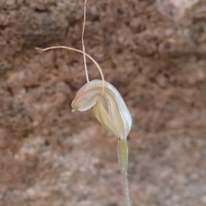 Hairy-stemmed snail orchid