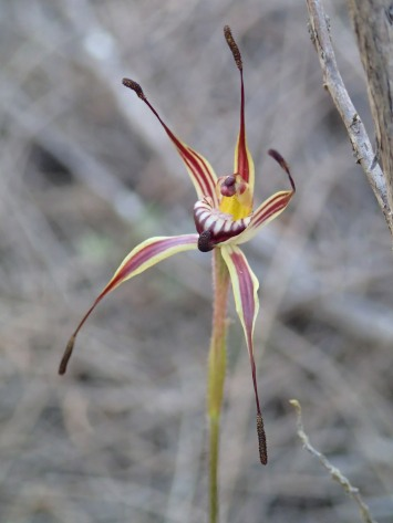 Sigmoid spider orchid