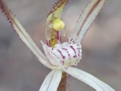 Western wispy spider orchid
