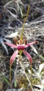 Deep red Esperance king spider orchid