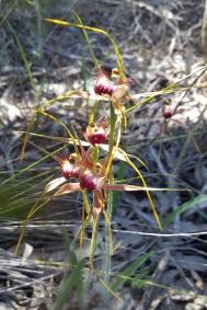 Cluster of Esperance king spider orchids