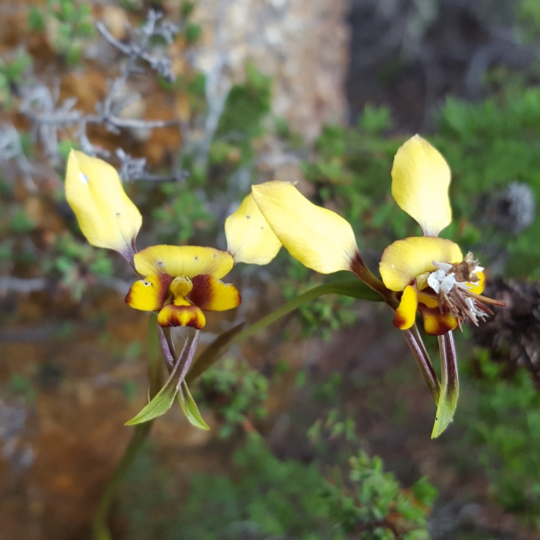 Diuris conspicillata was first formally described in 1991