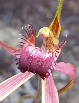 Fringe of narrow teeth up to 9 mm long but suddenly decreasing in length about half-way towards the tip of the labellum.