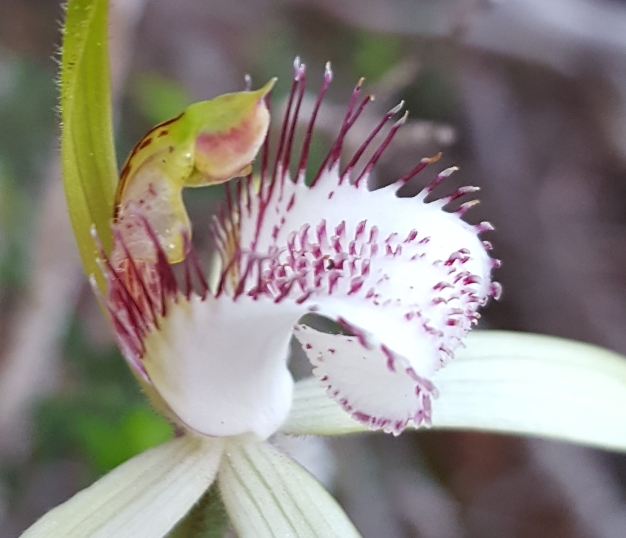 Moderately long marginal teeth to the labellum