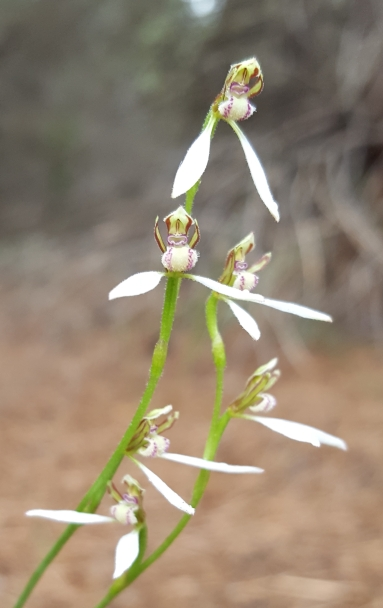 Up to 7 flowers per orchid