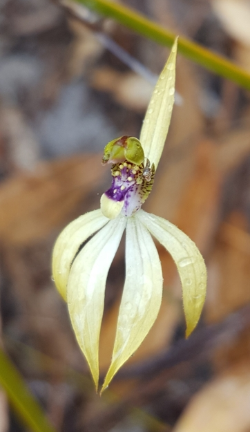Sharply pointed petals and sepals
