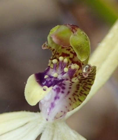 Labellum green and white with purple markings
