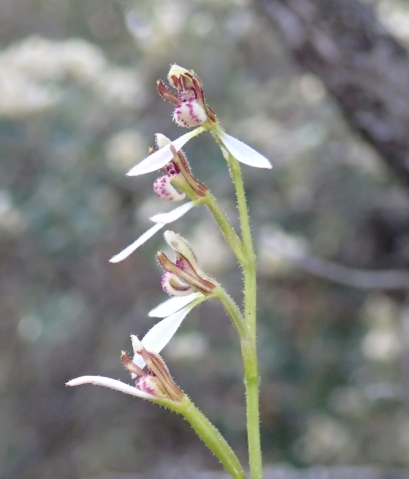 Common , coastal bunny orchid. The location attests to this.
