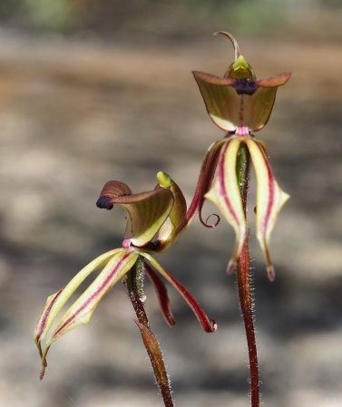 Broad labellum, folded in the middle