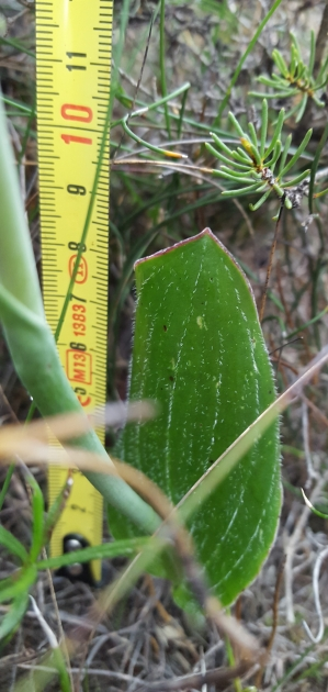 Broad hairy leaf. 6-10 cm in length and 2 - 5 cm in width