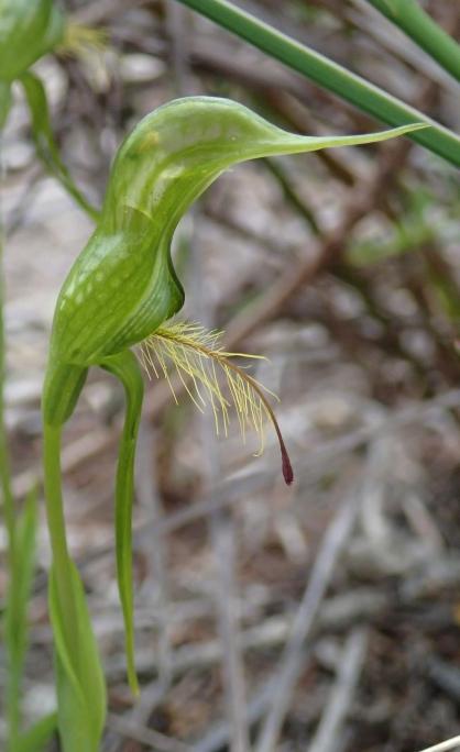 United dorsal sepal and petals form a hood