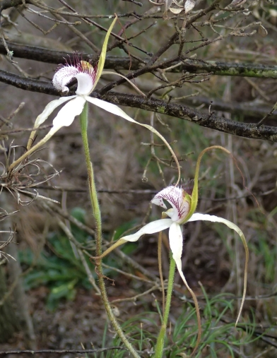 Up to 3 predominantly white flowers per orchid